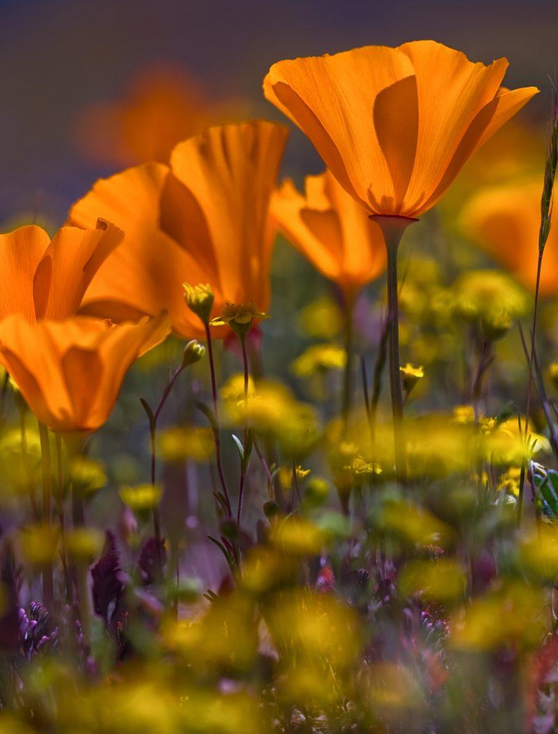 outdoor photographer, magazine cover, california poppies