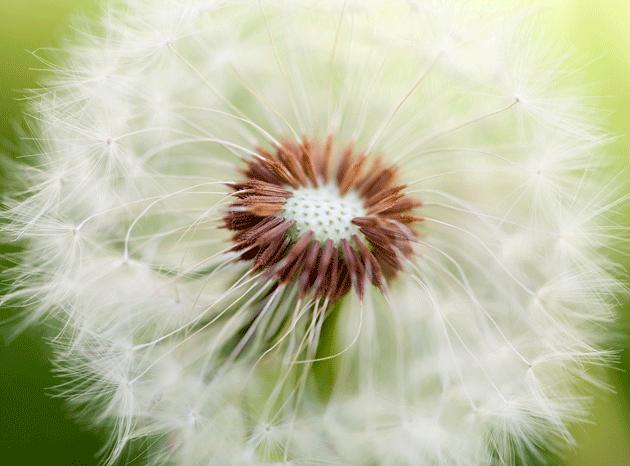 dandelion_15149