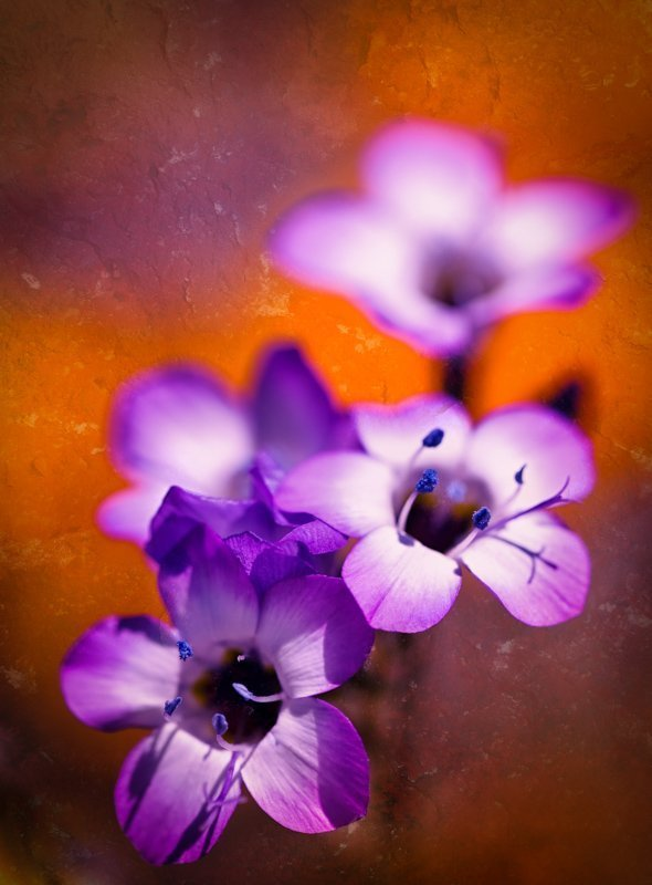Sullivan J Photography's photograph of wild flowers in antelope valley, california.