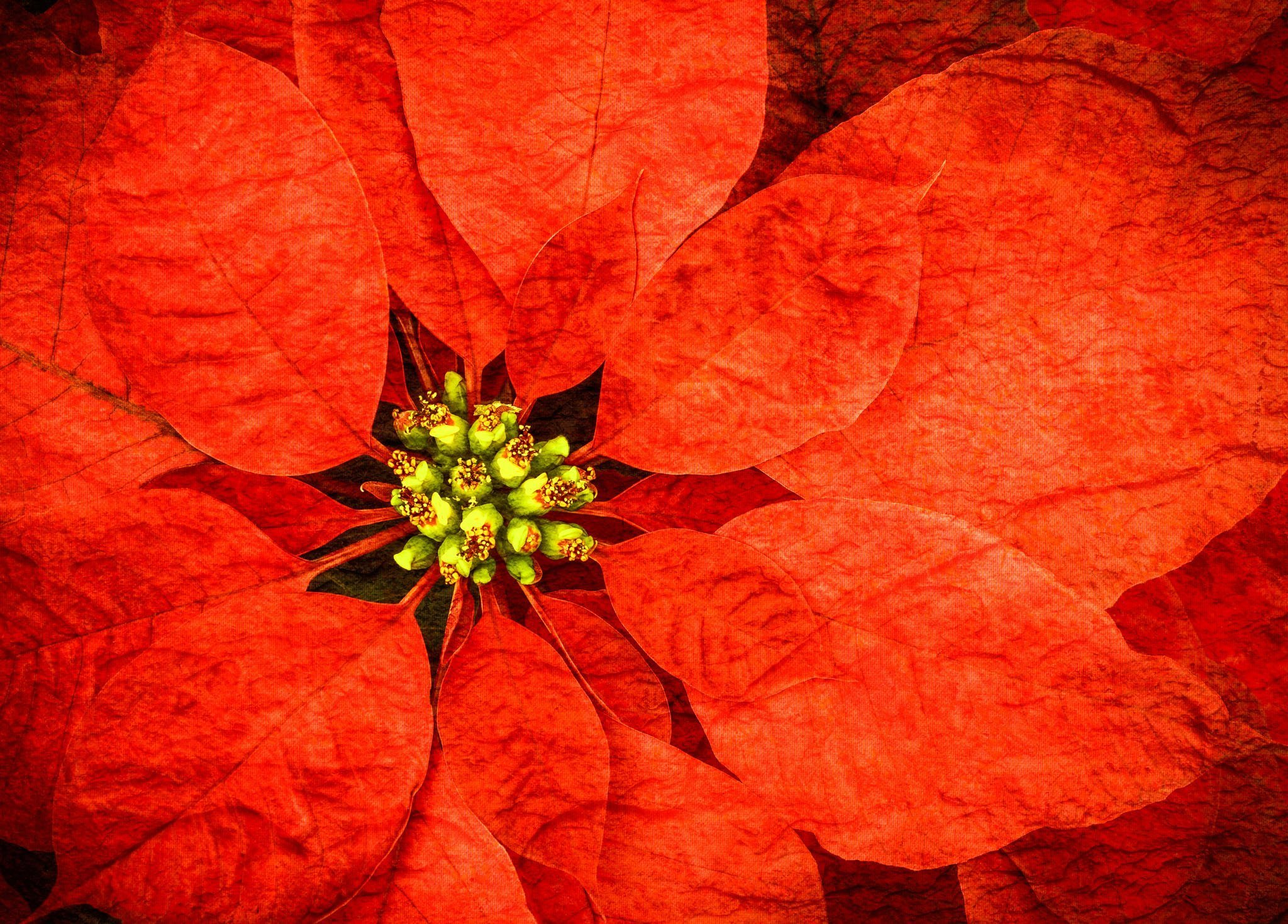 Poinsettia Flowers with Textures