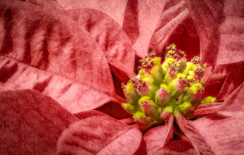 Pink poinsettia flower with texture.