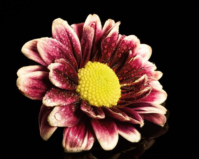 Daisy on black plexi and processed in Helicon Focus.