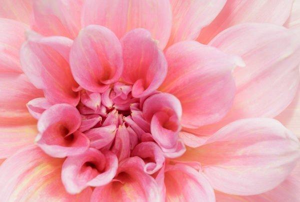 Flower-pink-J1A9396