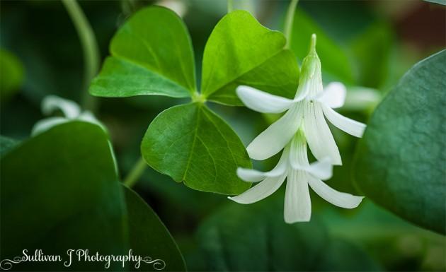 Whtie Clover Flower