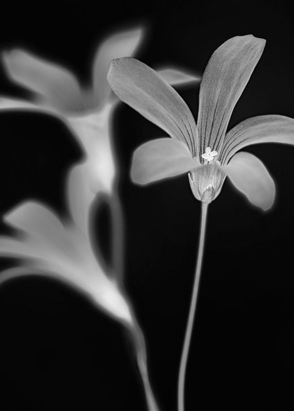 Clover flower processed in Black and White.