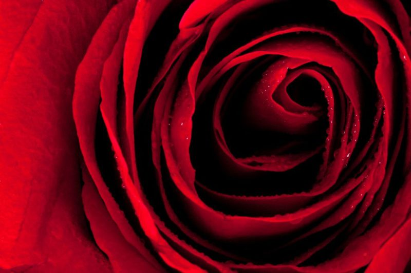 red rose anniversary