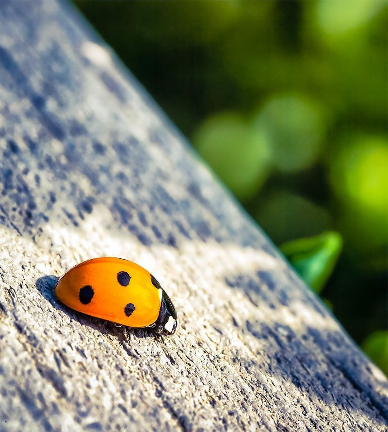 ladybug-9464