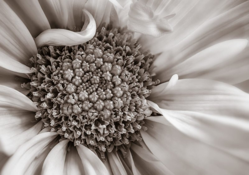 sepia daisy closeup and elegant