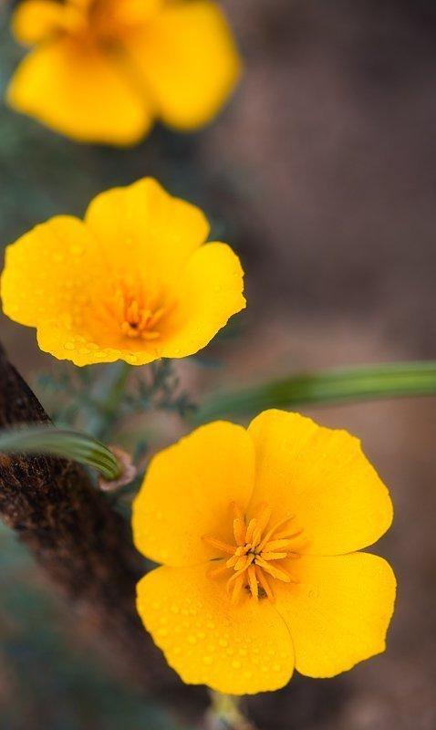 3 Yellow Poppies
