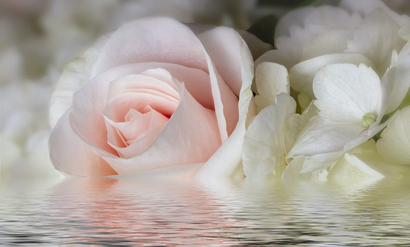 pink rose flower flood