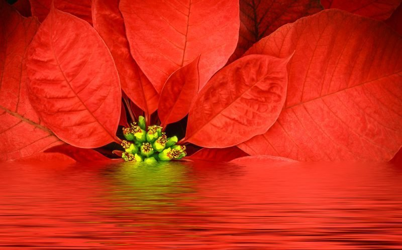 poinsettia pop