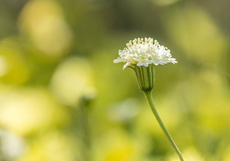 Anza Borrego Wild Flower