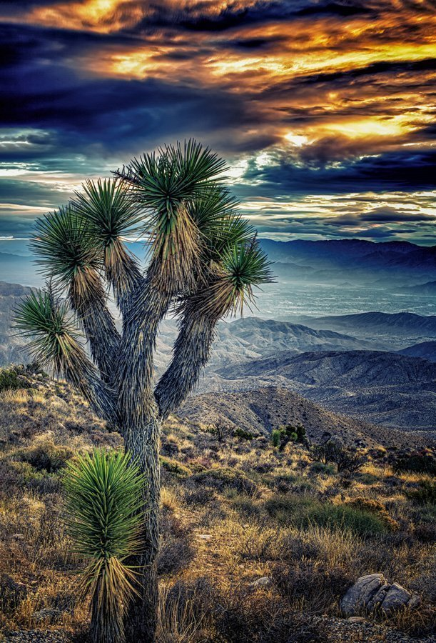 Mom and Baby Joshua Trees for Sale