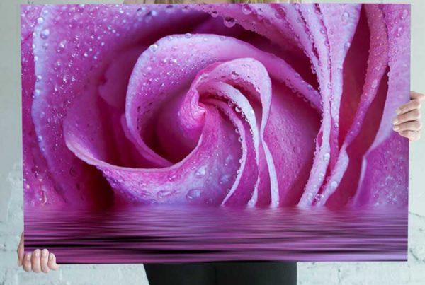 fushia rose image for sale
