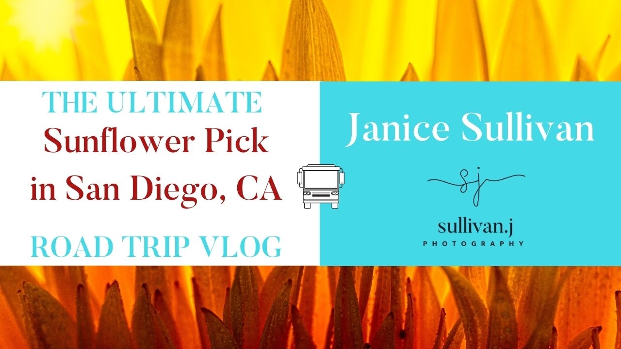 sunflowers in the fall